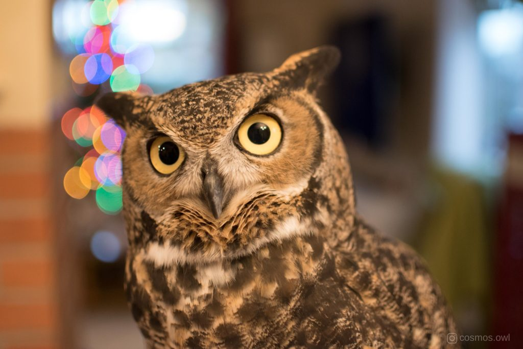 Cosmos the Great Horned Owl It's Christmas
