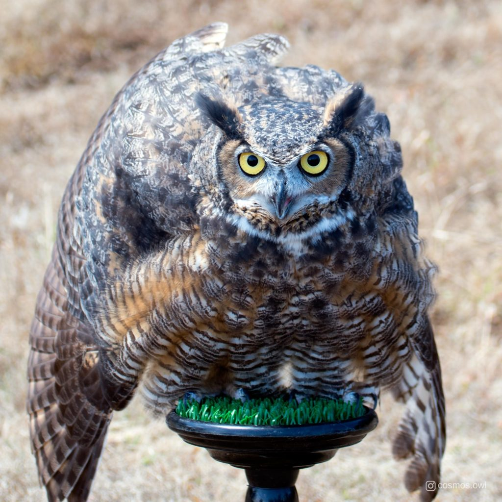 Cosmos the Great Horned Owl