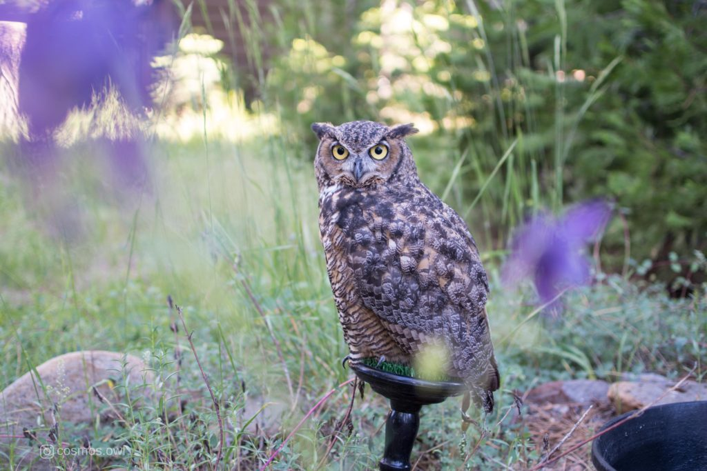 Cosmos the Great Horned Owl in Purple