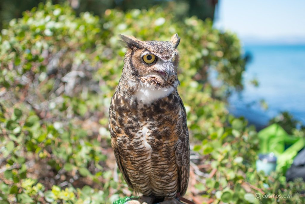Cosmos the Great Horned Owl at the Lake