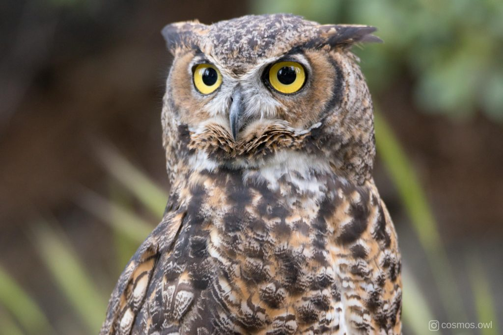 Cosmos the Great Horned Owl in Forest