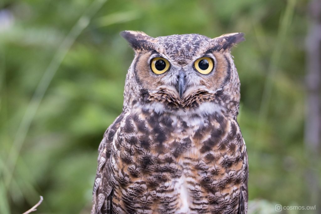 Cosmos the Great Horned Owl - He Believes in You