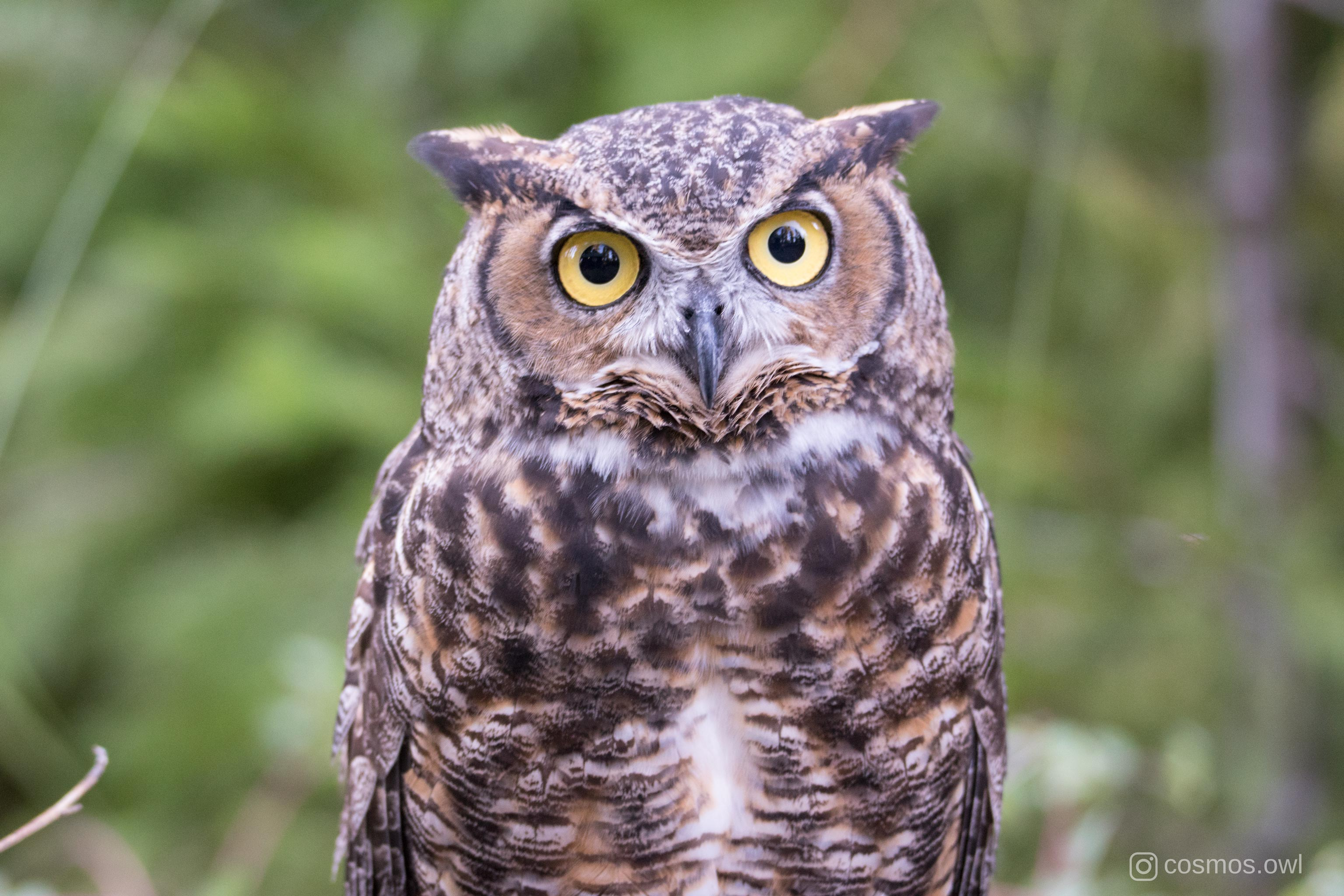 Cosmos the Great Horned Owl Sweet Face