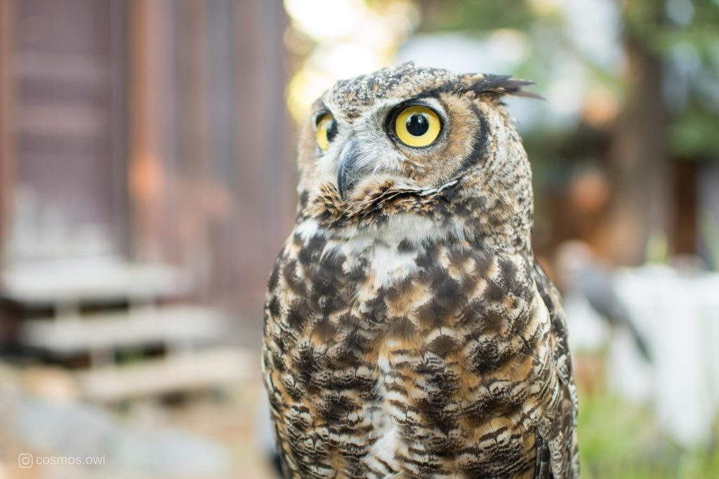 Cosmos the Great Horned Owl Thoughtful