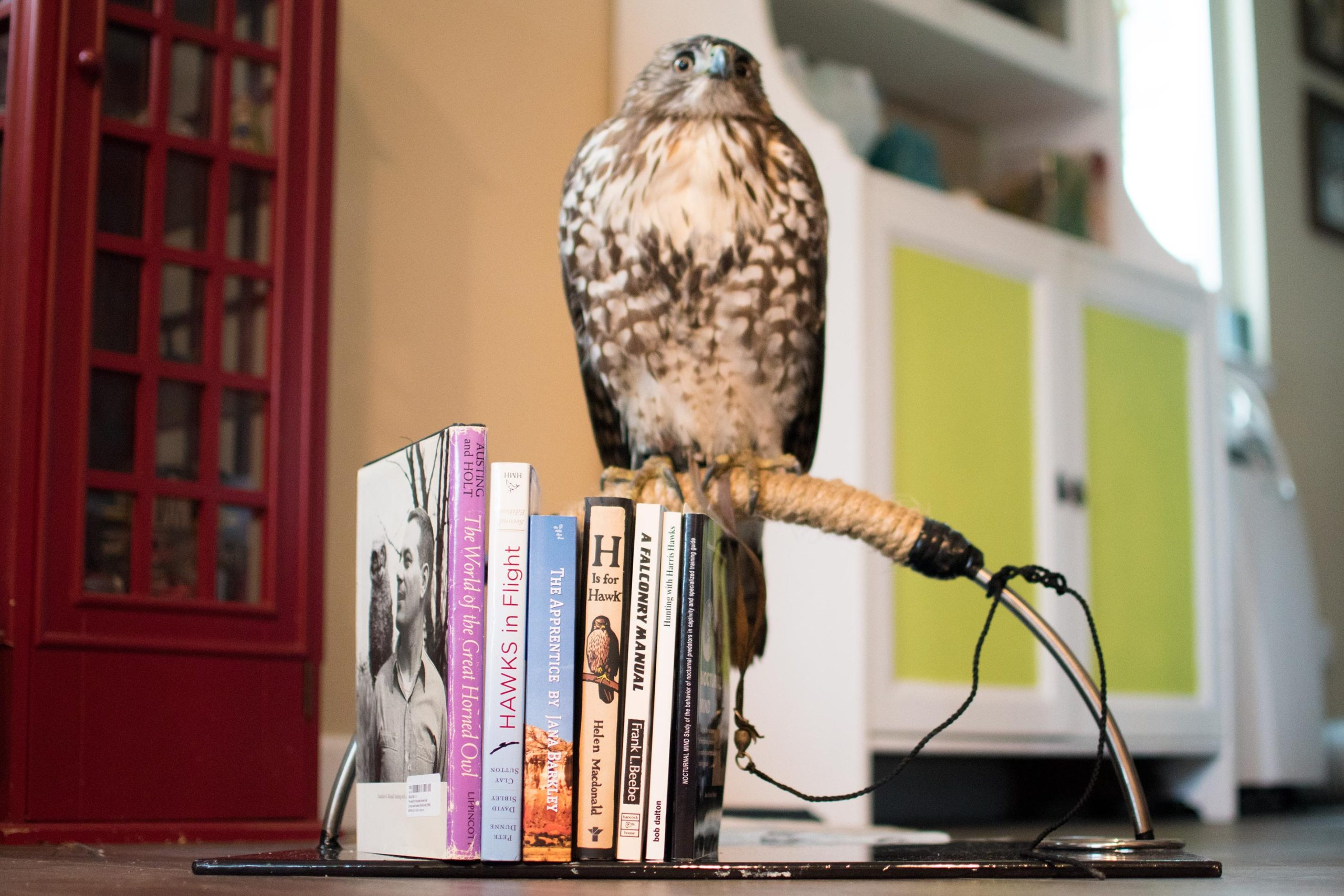 Toast the Red Tailed Hawk perched next to falconry books